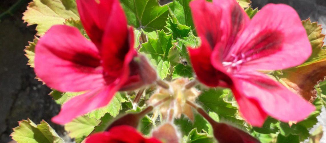 fiorivicolo