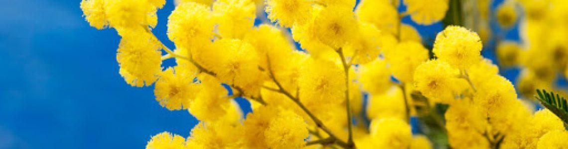 La simbologia della mimosa